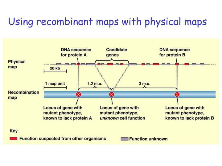 Using recombinant maps with physical maps
