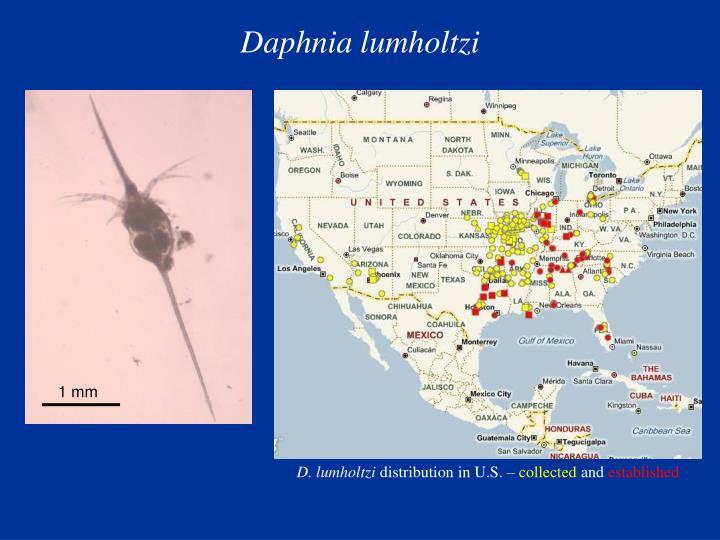 Daphnia lumholtzi
