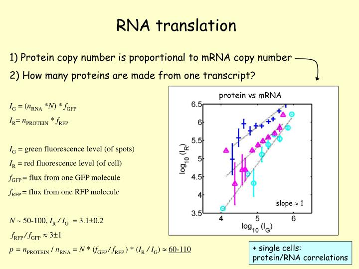 1) Protein copy number is proportional to mRNA copy number