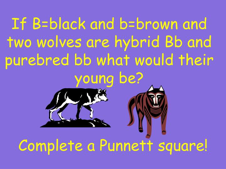 If B=black and b=brown and two wolves are hybrid Bb and purebred bb what would their young be?