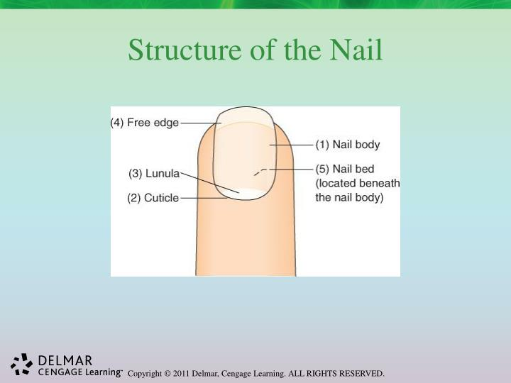 Structure of the Nail