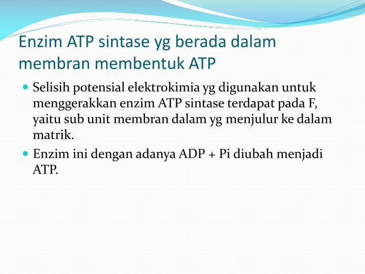 Enzim ATP sintase yg berada dalam membran membentuk ATP