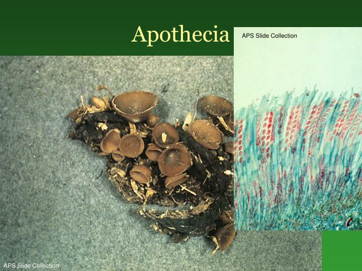 Apothecia