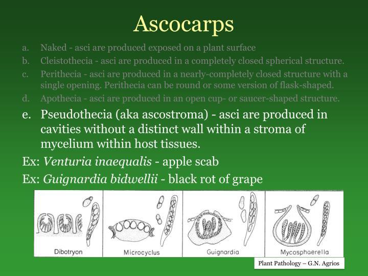 Ascocarps