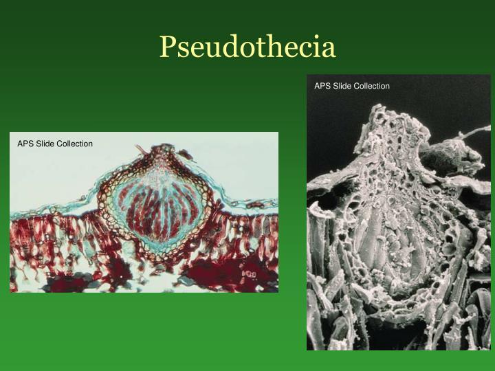 Pseudothecia