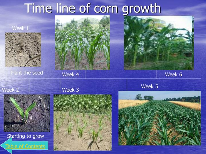 Time line of corn growth