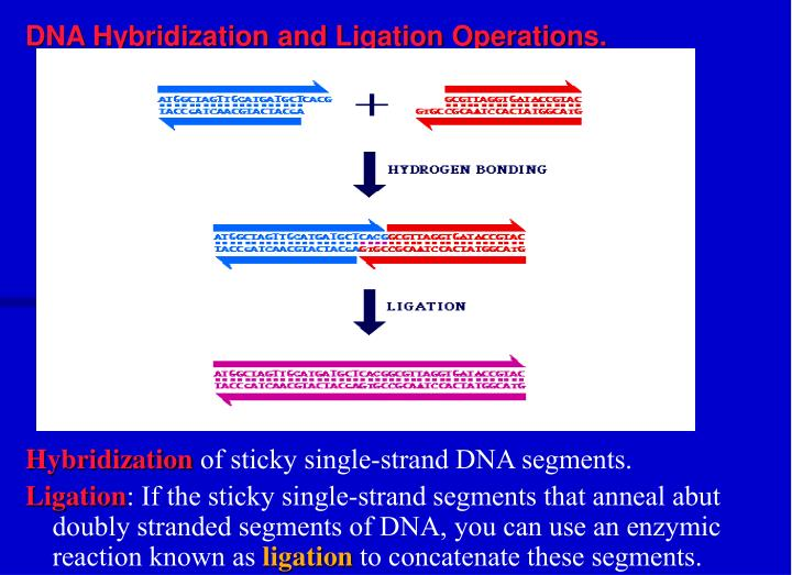 DNA Hybridization and Ligation Operations.
