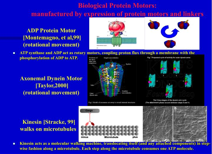 Biological Protein Motors:
