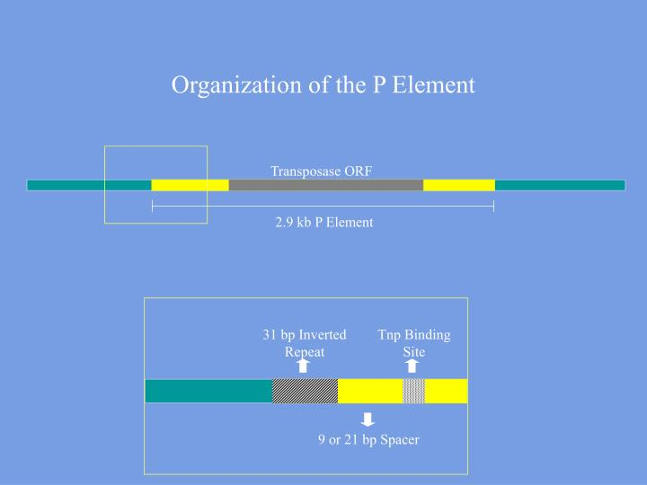 Organization of the p element