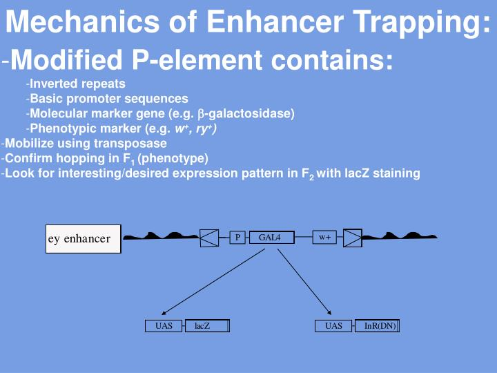 Mechanics of Enhancer Trapping: