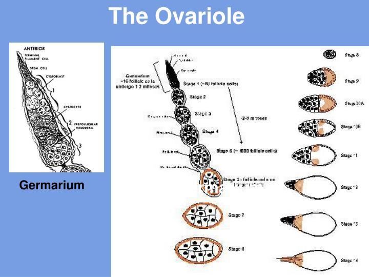 The Ovariole