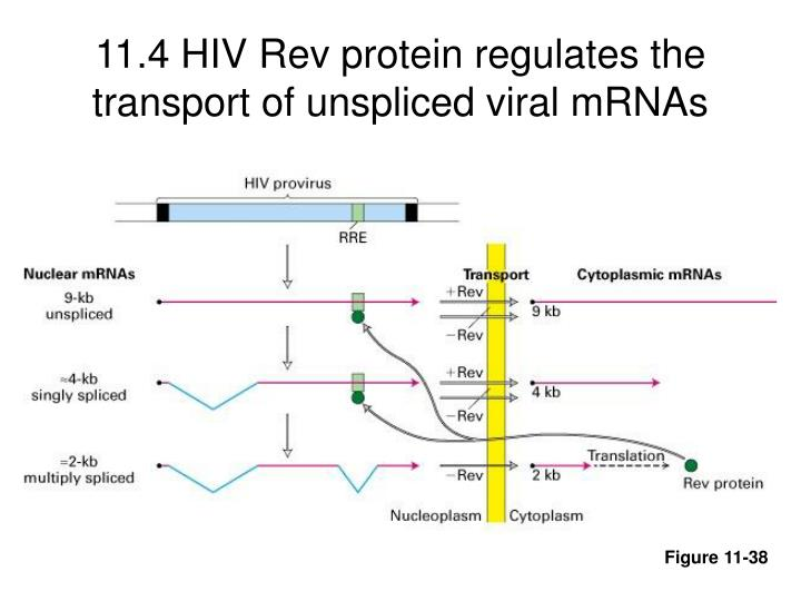 11.4 HIV Rev protein regulates the transport of unspliced viral mRNAs