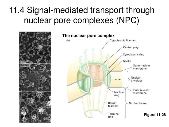 11.4 Signal-mediated transport through nuclear pore complexes (NPC)