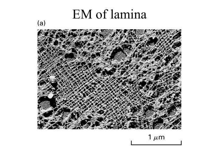 EM of lamina