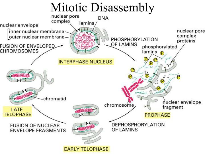 Mitotic Disassembly