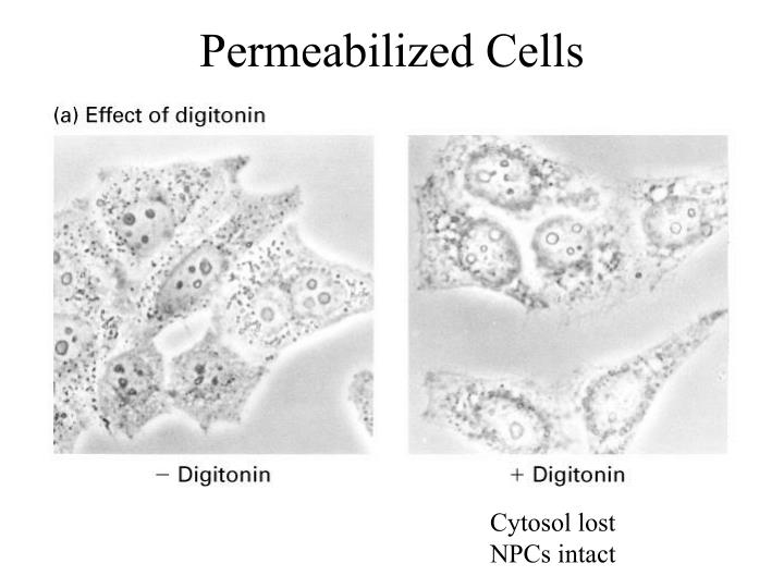Permeabilized Cells