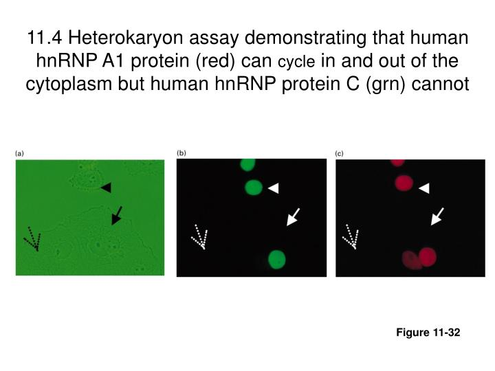 11.4 Heterokaryon assay demonstrating that human hnRNP A1 protein (red) can