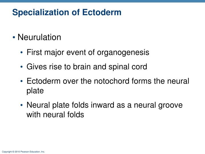 Specialization of ectoderm