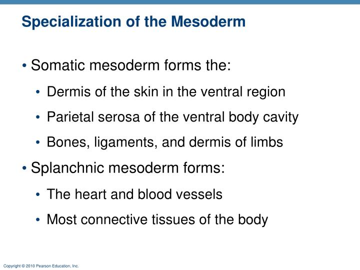 Specialization of the Mesoderm