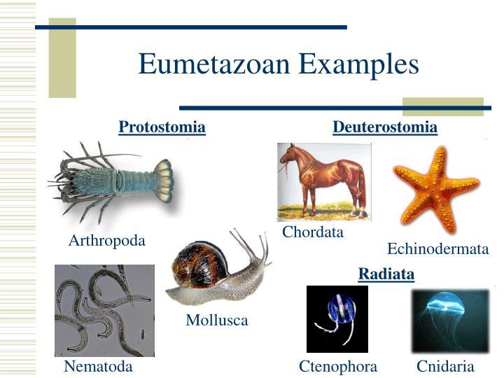Eumetazoan Examples