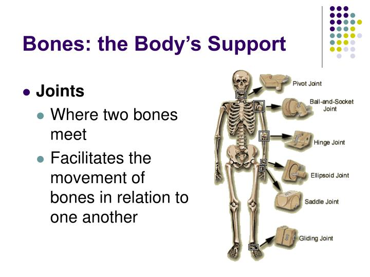 Bones: the Body's Support
