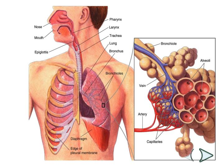 Figure 37-13 The Respiratory System