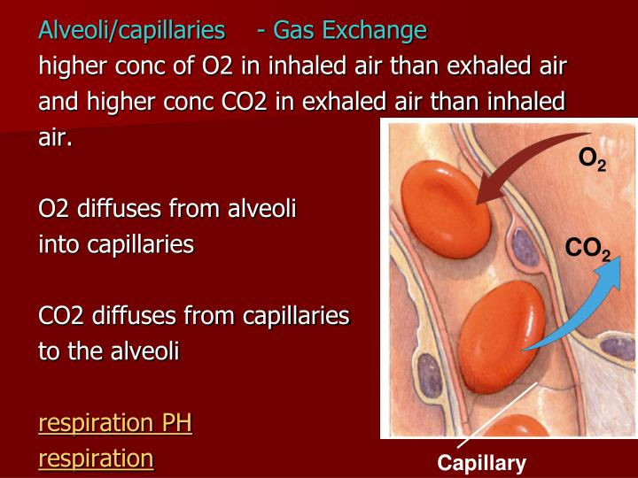 Alveoli/capillaries    - Gas Exchange