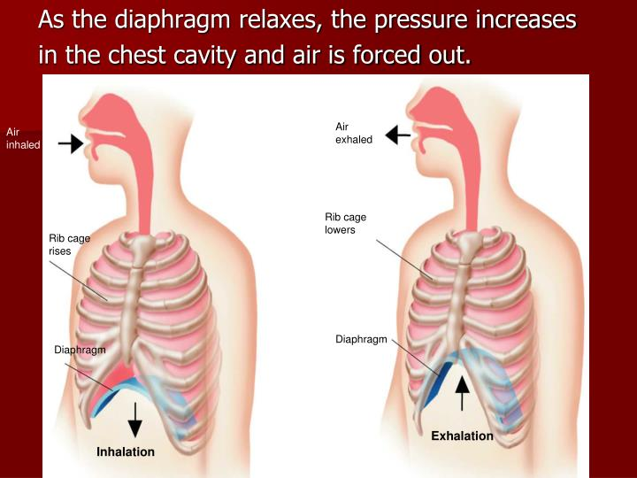 As the diaphragm relaxes, the pressure increases