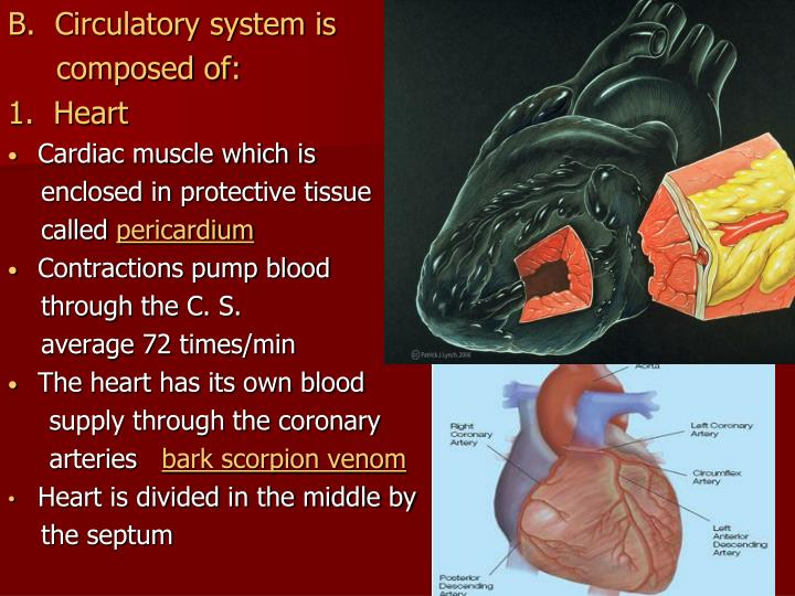 B.  Circulatory system is