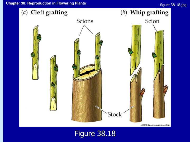 figure 38-18.jpg