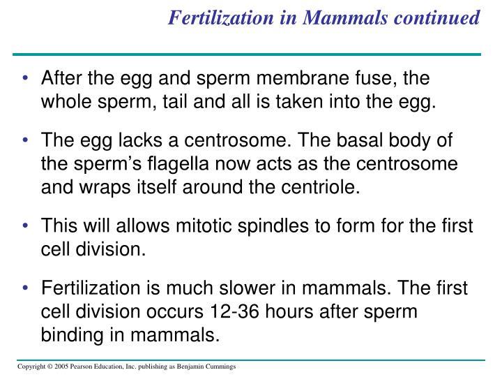 Fertilization in Mammals continued