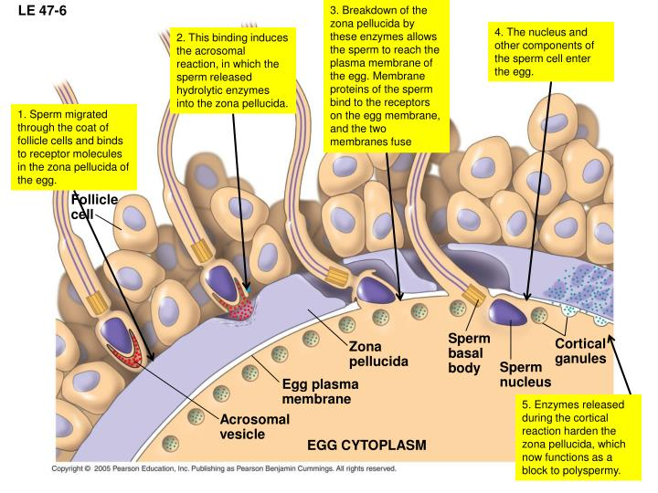 3. Breakdown of the zona pellucida by these enzymes allows the sperm to reach the plasma membrane of the egg. Membrane proteins of the sperm bind to the receptors on the egg membrane, and the two membranes fuse