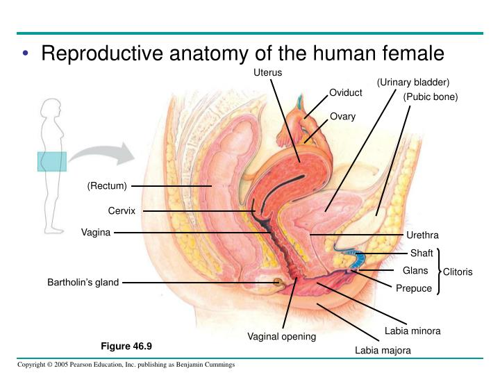 Uterus