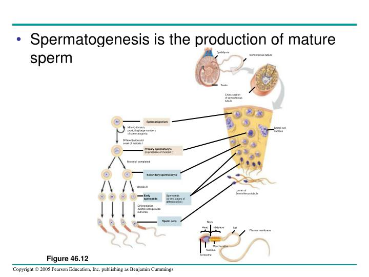 Spermatogenesis is the production of mature sperm