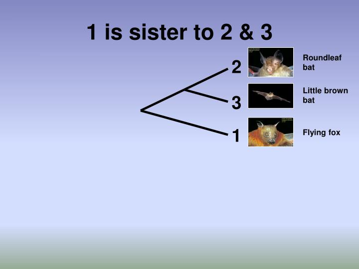 1 is sister to 2 & 3