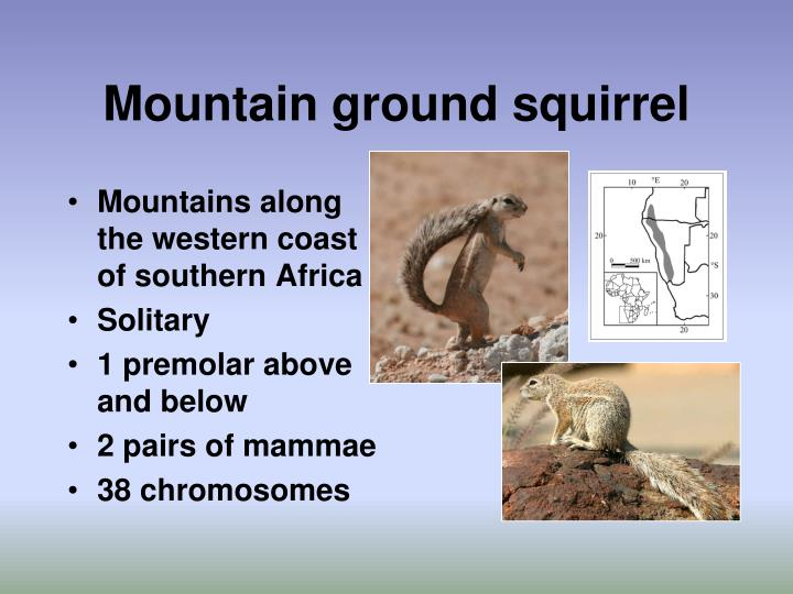 Mountain ground squirrel