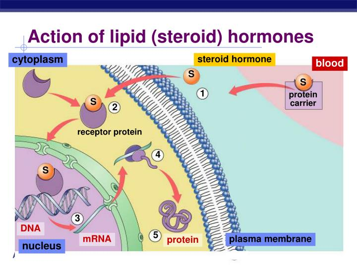 Action of lipid (steroid) hormones