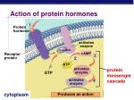 action of protein hormones