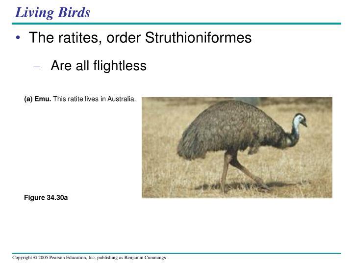(a) Emu.