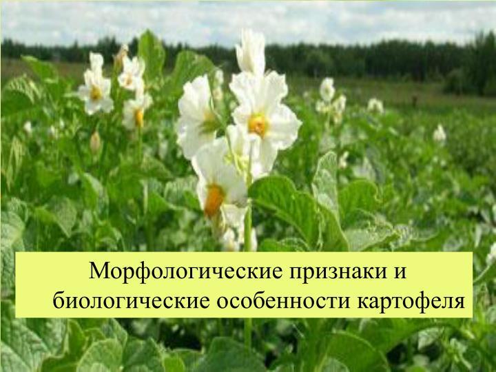 Морфологические признаки и биологические особенности картофеля