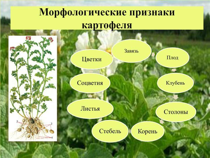 Морфологические признаки картофеля