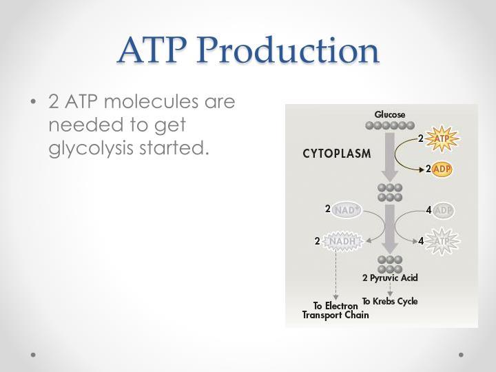 ATP Production