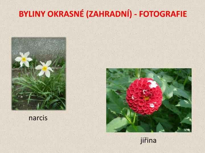 BYLINY OKRASNÉ (ZAHRADNÍ) - FOTOGRAFIE