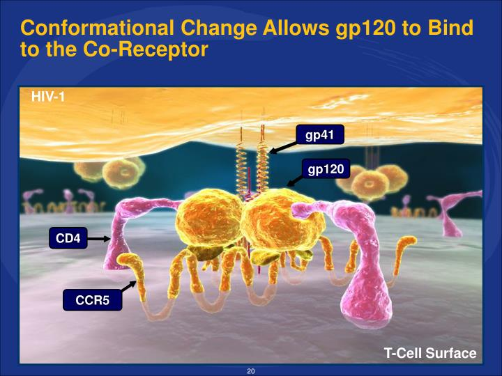 Conformational Change Allows gp120 to Bind to the Co-Receptor