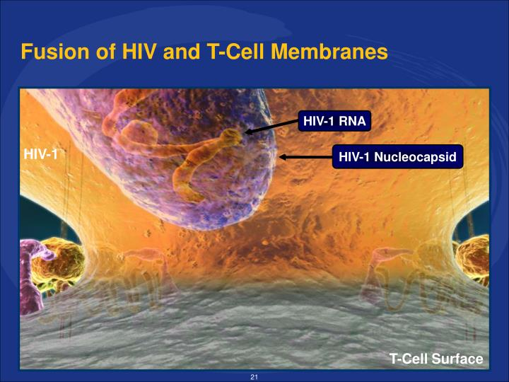 Fusion of HIV and T-Cell Membranes