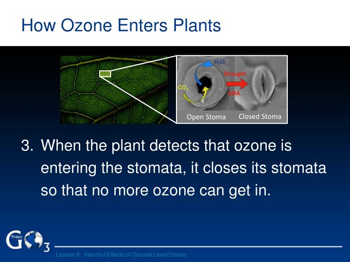 How Ozone Enters Plants