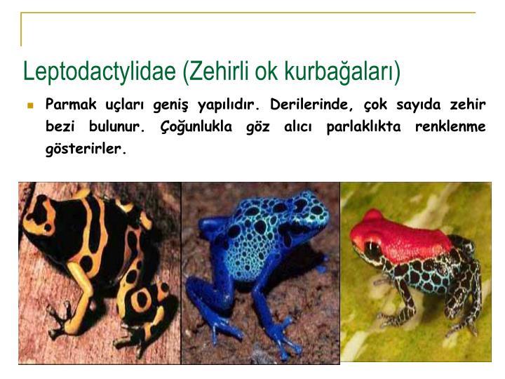 Leptodactylidae (Zehirli ok kurbaalar)