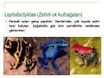 leptodactylidae zehirli ok kurba alar