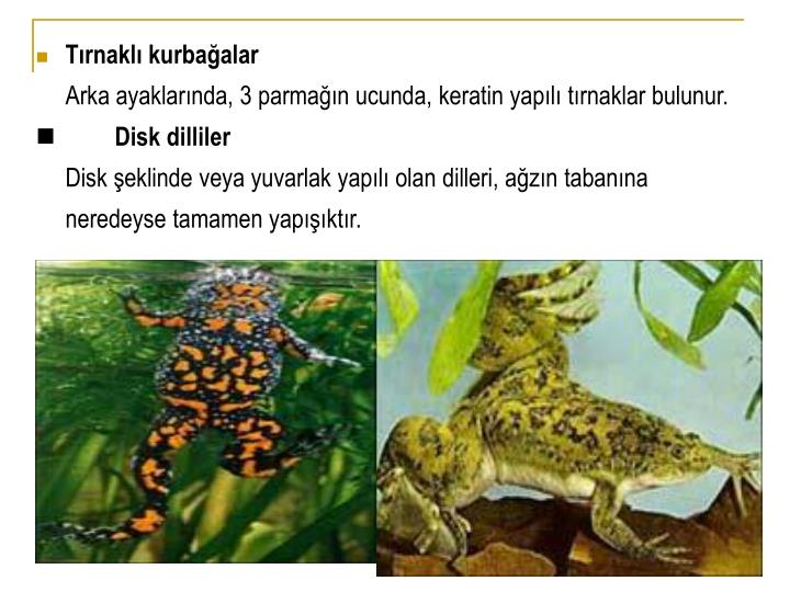 Tırnaklı kurbağalar