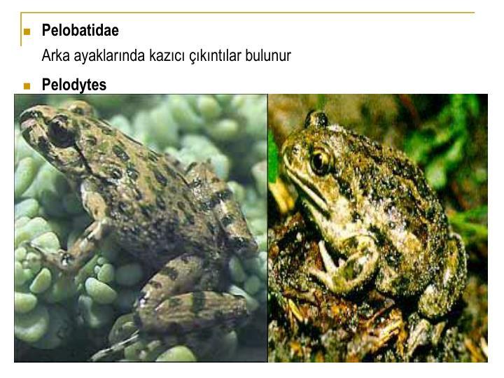Pelobatidae